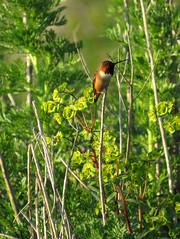 Allen's Hummingbird (stonebird) Tags: allenshummingbird selasphorussasin ballonawetlandsecologicalreserve areaa march img1898