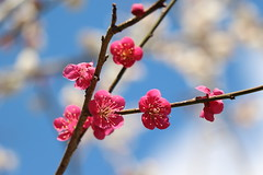 梅 (* Yumi *) Tags: 梅 ume plum flower