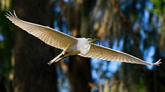 Wingspan (brev99) Tags: d610 tamron1004004563vcusd winterpark florida egret bird birdinflight trees ononesoftware on1photoraw2019 wingspan wings flight topazdetail topazdenoise ngc highqualityanimals