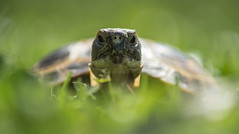 Tortoise in grass (Ronnie Newman Photography) Tags: tortoise turtle green grass eyes face head shell animal animals animalphoto animalphotography animalphotos nature naturephoto naturephotography background wallpaper nikon nikond750 nikonphotography photography photos photo outside wildlife wildlifephoto wildlifephtotograhy