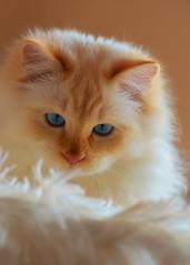 Watchful (FocusPocus Photography) Tags: tofu dragon katze kater cat tier animal haustier pet blaueaugen blueeyes wachsam watchful