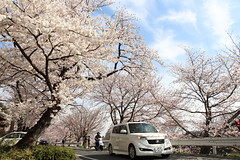 Fun to drive (Teruhide Tomori) Tags: road car kyoto japan japon cherry blossom bloom spring flower sakura kamigamo kamoriver 上賀茂 賀茂川 京都 桜 春 ソメイヨシノ 日本 車 道路 桜並木