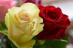 20181222_002_2 (まさちゃん) Tags: 薔薇 ローズ rose