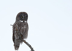 Great Gray Owl...#10 (Guy Lichter Photography - 4.4M views Thank you) Tags: canon 5d3 canada manitoba wildlife animals birds owl owls greatgrayowl