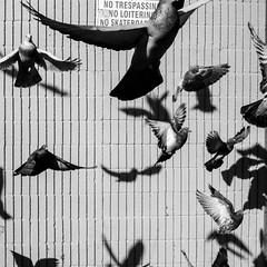 Birds (Jordan Barab) Tags: birds street streetphotography echopark blackandwhite bnw bw losangeles california sony dsc rx100 m3