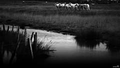 Au bord de l'eau (Un jour en France) Tags: monochrome vache eau ruisseau rivière campagne nature