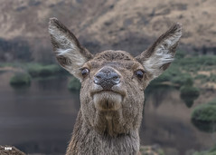 What! (davidrhall1234) Tags: reddeercervuselaphus reddeer scotland highlands glens glencoe animal countryside nature nikon portrait outdoors wildlife world woodland