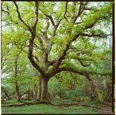 New Forest (Attila Pasek (Albums!)) Tags: newforestnationalpark analogue bronicasqa tree mediumformat newforest camera 120film ektar 100 film kodak