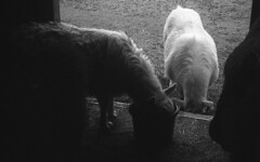 Breakfast on a Drizzly Day (squirtiesdad) Tags: goats little barn hay drizzle feed buckets diyselfscanning selfdeveloped kodak bantam f8 epson v600 blackandwhite bw bn monochrome analog analogue ilford pan f plus iso50 35mm 828 film