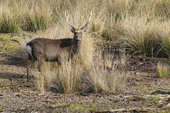 Arne 27-02-2015 68 (Matt_Rayner) Tags: arne deer stag