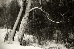 Jüri tervisarada (Jaan Keinaste) Tags: pentax k3 pentaxk3 eesti estonia loodus nature kask birch jüriterviserada lumi snow winter talv