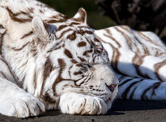 White Bengal Tiger 2019 (Orias1978) Tags: animal asia big black blue cat color eye face feline fur hunter jungle large mammal orange places portrait predator stripes tiger white wild zoo aggression anger background beast beautiful beauty bengal carnivore danger ear gaze glance greatness head isolated nature panther panthera power safari siberian stare strength striped tigris wildcat wildlife