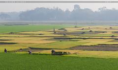Bangladesh.... A Land Of Beauty. (Halder Ujjwal) Tags: bangladesh landofbeauty field landscape beauty beautiful ngc nature colorful farmer canon 7dmarkll sunlight