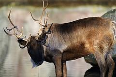 Rentier (Michael Döring - thx for 20.000.000 views) Tags: gelsenkirchen bismarck zoomerlebniswelt zoo rentier mule afs600mm40e d850 michaeldöring