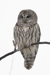 Chouette rayée / Barred Owl (Fpoitras) Tags: