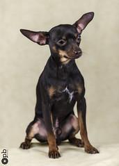 Ooligan à 11 mois (Philippe Bélaz) Tags: ooligan ratierdeprague animal animauxdecompagnie brun chiens chiots chocolat famille fauve studio
