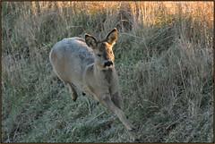 Roe Deer (image 3 of 3) (Full Moon Images) Tags: wicken fen burwell nt national trust wildlife nature reserve cambridgeshire animal mammal running roe deer