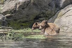 Mother love (tmeallen) Tags: grizzlybears mother cub sedgegrass rocks shoreline branches standinginwater britishcolumbia wildlife remote khutzemateen grizzlybearsanctuary motherlove