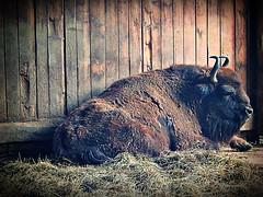 Wisent im Wildpark Hundshaupten, Fränkische Schweiz (Maquarius) Tags: wisent wildpark hundshaupten fränkische schweiz oberfranken franken tier bulle rind