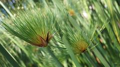 Papyrus du Nil - Maroc (passionpapillon) Tags: nature vert plante papyrus passionpapillon 2019 macro green bokeh