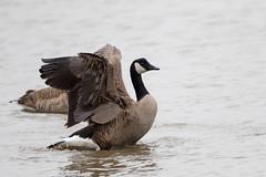 7K8A1137 (rpealit) Tags: scenery wildlife nature edwin b forsythe national refuge brigantine canada geese bathing goose bird