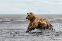 _HB31236 (Hilary Bralove) Tags: lakeclarknationalparkbrownbearsbearsalaskanikonwildlifegrizzlygrizzlybearbrownbearanimalswildlifephotographer alaksa brownbears grizzlybears bear bears grizzly brownbeargrizzly bearlake clarkwildlifealaska wildlifenikonlake clark national park