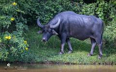 Wasserbüffel (petraherdlitschke) Tags: srilanka animals wildlife safari büffel canon