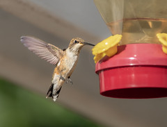 Hummingbird (Lynn Tweedie) Tags: california beak feathers hummingbird bird eos modesto sigma150600mmf563dgoshsm canon 7dmarkii ngc animal