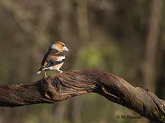 appelvink / Coccothraustes coccothraustes (m.ritmeester) Tags: ngc naturelovers natuur nederland overijssel bruin wit bos appelvink zwart rijssen