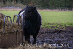 Belted Galloway (wanderinghaggis) Tags: belted galloway highland cow farm animal sony a6000 outdoor outside outdoors out breed cattle image photography scotland day field farming life landscape exposure exposed nature natural