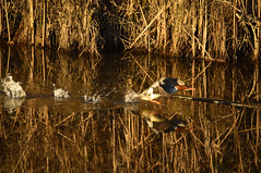 (Ian Threlkeld) Tags: birds nature pittmeadows explore explorebc nikon irt bc