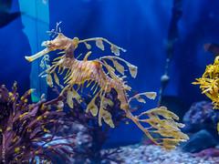 Leafy Sea Dragon (Carrot Room) Tags: olympus penf longbeach aquariumofthepacific digital