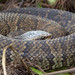 Cottonmouth / Water Moccasin