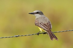 Tropical Kingbird (aivar.mikko) Tags: tropicalkingbird tyrant flycatcher tyrannusmelancholicus tropical kingbird tyrannus melancholicus crookedtreesanctuary crooked tree sanctuary belize birds bird wildlife central america latin caribbean british honduras