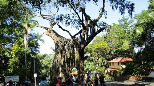 Jamaica -  Ocho Rios: a giant banyan tree (of India) @ park around Dunn's River Waterfalls