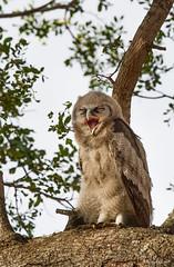 Verreaux's Eagle-owl juvenile -4606 (Theo Locher) Tags: birds bubolacteus gianteagleowl oiseaux reuseooruil verreauxseagleowl vogels vögel krugernationalpark kruger zuidafrika southafrica copyrighttheolocher