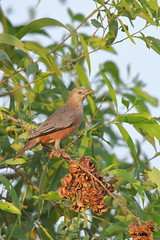 Chestnut-tailed Starling (harshithjv) Tags: bird birding myna mynah starling chestnuttailed chestnut chestnuttailedstarling sturnia malabarica passeriformes passeri muscicapoidea sturnidae aves avian canon 80d tamron bigron g2