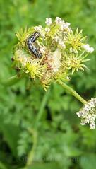 Depressaria daucella caterpillar (Geckoo76) Tags: insect butterfly caterpillar depressariadaucellacaterpillar moth