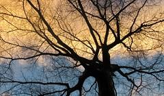 Arborescence (Robert Saucier) Tags: newyorkcity newyork nyc arbre tree ciel sky nuages clouds bleu blue contreplongée contrejour img3653 manhattan