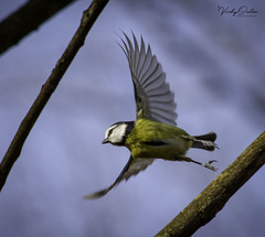 🇬🇧 Blue tit taking flight. (vickyouten) Tags: bluetit nature naturephotography wildlife britishwildlife wildlifephotography nikon nikond7200 nikonphotography nikkor55300mm burtonwood warrington uk vickyouten