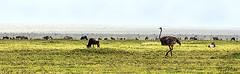 OSTRICH 1 (Nigel Bewley) Tags: tanzania africa wildlife nature wildlifephotography nigelbewley photologo appicoftheweek safari gamedrive ostrich struthiocamelus maswagamereserve march march2019