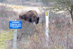 Wisent walks among bushes in Zuid Kennemerland National Park in the Netherlands