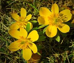Winterlinge (Eranthis hyemalis) (fleckchen) Tags: winterlinge eranthishyemalis hahnenfusgewächs hahnenfusgewächse frühbühler blumen pflanzen garten gelb gelbeblüten blüten blooms blumenblüten blossoms