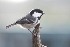 Parus ater (coal tit) (alfred.reinartz) Tags: tannenmeise vogel singvogel bird parusater coaltit