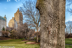 Central Park - Winter 2018-19-4.jpg (jbernstein899) Tags: natural manhattan nature leaf city brown paseo pathway defoliation tree fallenleaves newyorkcity architecture america path winter season pedestrian buildings centralpark brownleaves perspective us northamerica clearday bigapple botany elm recreation highrise park american empty blueskies branch