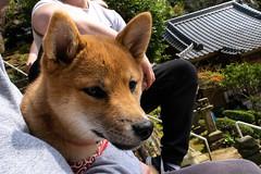 Fuzzy Pup (RedFive478) Tags: dog canine shiba animal pup puppy pupper doggo pet wildlife japan sasebo nikon d3300