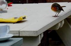Robin Looking In Packet For Crisps (mrd1xjr) Tags: robin looking in packet for crisps sony hx60v