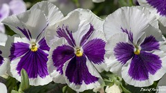Pansy Blossom (Daveoffshore) Tags: plant pansy blossom flower three purple white