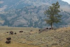 (Samuel Raison) Tags: bison buffalo wild wildlife wildlifephotography nature naturephotography nikon nikond800 nikon2870200mmafsvr yellowstone yellowstonenationalpark yellowstonewildlife