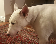 Feathered Dog - Exploding Pillow Predicament (Coastal Elite) Tags: dog feathers feather pillow expression ashamed confused sad featherpillow ripped open fail mess pillows dogs pets home oreiller oreillers plumes bullterrier englishbullterrier chien perro 狗 accident feathered emplumé